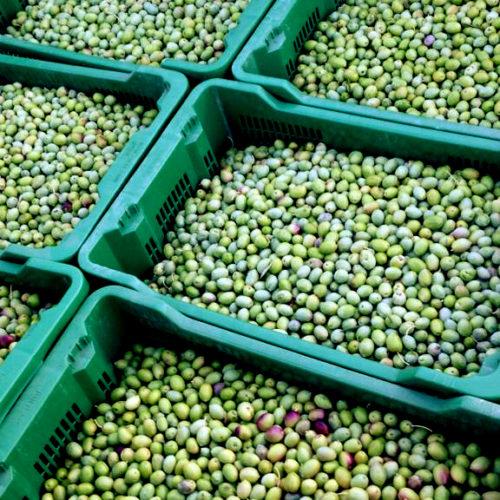 olive_02